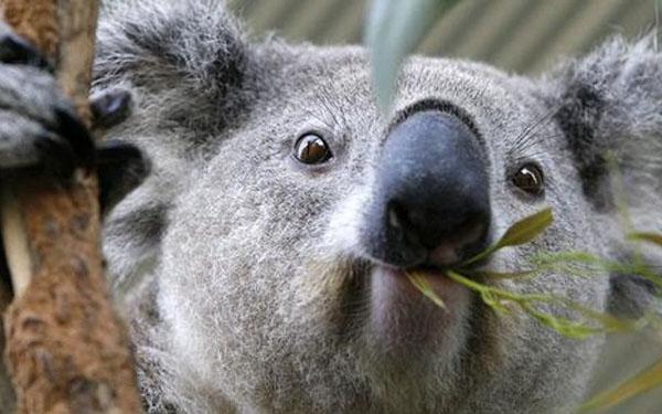 5 dieu khong the bo qua koala