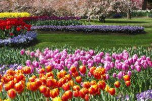Vườn hoa Tulip Top Garden