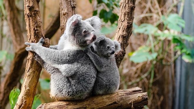 Koala loài thú dễ thương tại vườn bách thú Taronga ở Úc