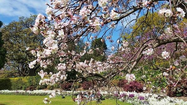 những cây hoa nỡ rộ mùa xuân úc