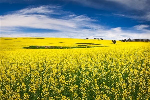 cánh đồng hoa cải Canola ở Úc